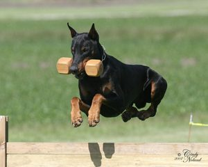 von Moeller Hof working Dobermans