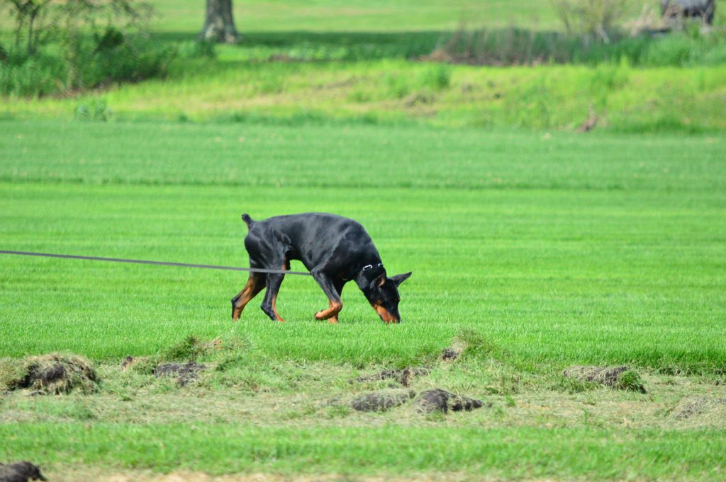 Treasure Seeker Dobermans