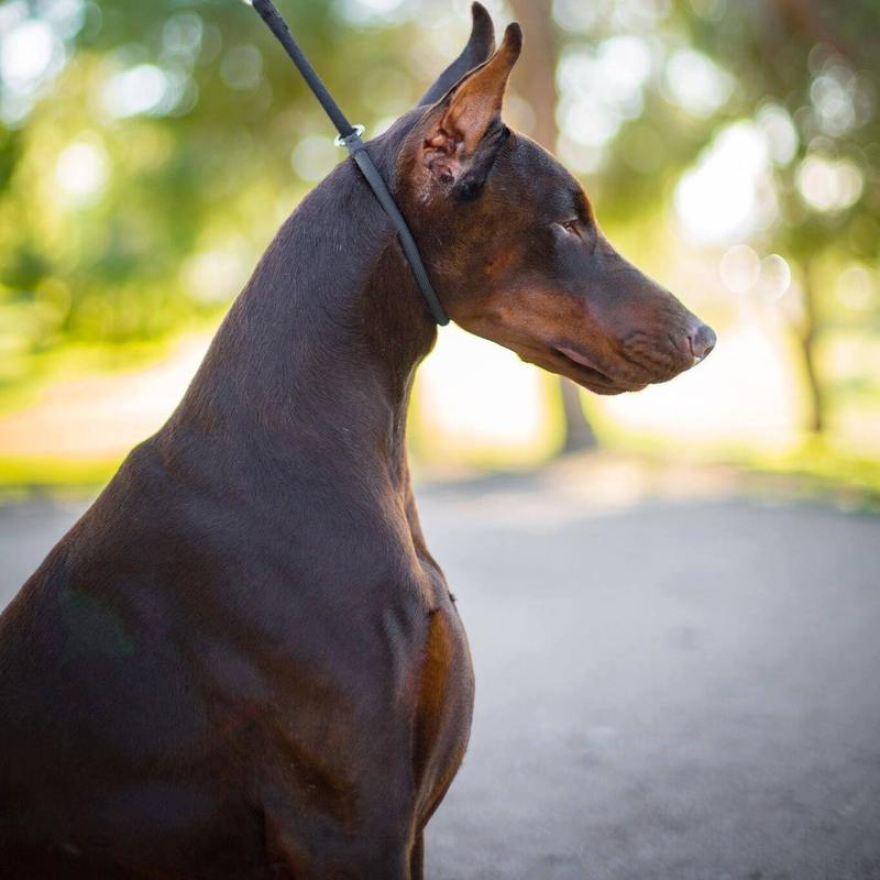 Daily Dobermans